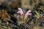 Woolly lousewort (Pedicularis dasyantha)